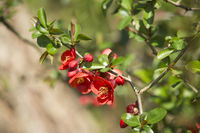 Chinesische Zierquitte (Chaenomeles speciosa), rotblühende Sorte