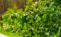 summer birch leaves