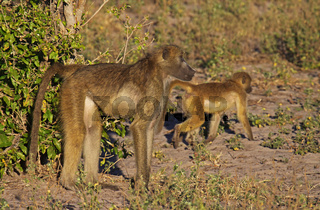 Baboons im Morgenlicht im Susuwe Nationalpark, Namibia