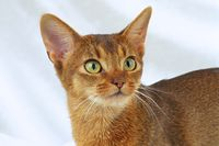 ABESSINIERKATZE, ABY, ABESSINIER, ABYSSINIAN CAT, ABYSSIN, ABY, RUDDY, WILDLOOKING,