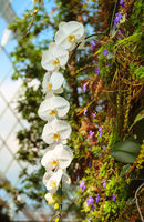 Fresh blossoming white orchid plant flowers on one branch