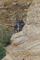 einer wacht... Europäischer Uhu *Bubo bubo* schaut hinter einem Felsvorsprung hervor