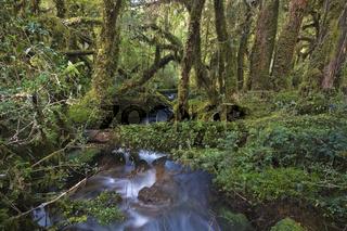 Maerchenwald Bosque Encantada, Carretera Austral, Patagonien, Chile, Suedamerika, spooken forest Bosque Encantada, Patagonia, Chile, South America