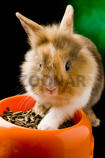 Dwarf Rabbit with Lion's head with his food bowl