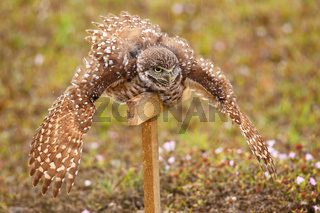 Burrowing Owl spreading wings in the rain