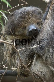 Zweifinger Faultier, Choloepus didoctylus, Sloth