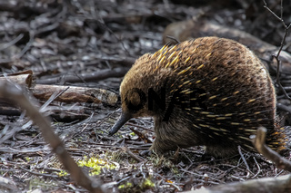Echidna foraging in the forest, Tasmania