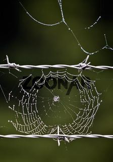Stacheldraht_Spinnennetz_04.tif