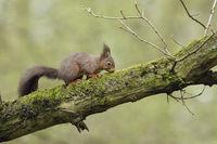 hoch oben im Baum... Eichhörnchen * Sciurus vulgaris * bei der Nahrungssuche in einer alten Eiche