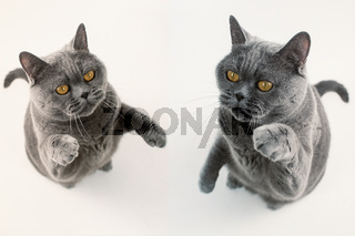 Two gray British Shorthair cat playing on white background