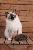 HEILIGE BIRMA KATZE, BIRMAKATZE, SACRED CAT OF BIRMA, BIRMAN CAT, SEALPOINT, INTERESTEDLY,