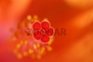 Bluetenstempel einer Hibiskusbluete