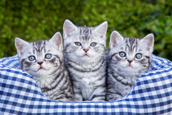 Three young silver tabby cats in checkered basket