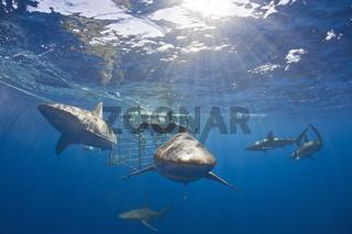 Galapagoshaie