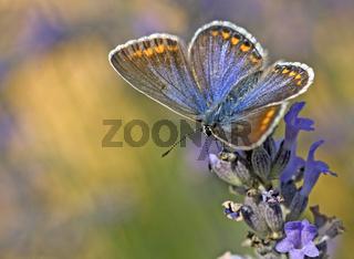 Blaeulinge, Lycaenidae, gossamer-winged butterflies