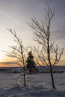 vereiste Birken, Riisitunturi Nationalpark, Lappland