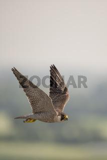 wieder angesiedelt... Wanderfalke *Falco peregrinus*