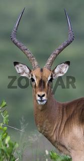 Schwarzfersenantilope, (Aepyceros melampus), Impala