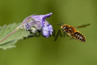 Katzenminze mit einer Mauerbiene