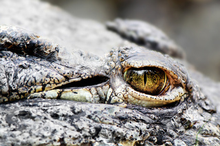 Krokodilauge