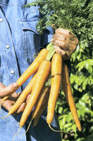 Farmer hand holding a bunch of carrots