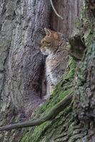 Wildkatze auf einem Baum