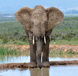African Elephant Afrikanischer Elefant
