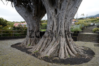 Drachenbaum auf La Palma