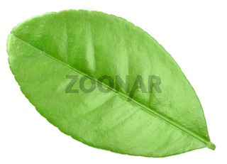 One green leaf of citrus-tree