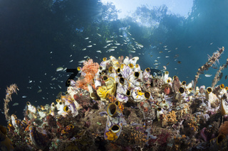 Gold-Seescheiden im flachen Mangovenbereich, Indonesien