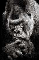 Western Lowland Gorilla BW II