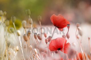 mohnblumen in landschaft mit kapseln