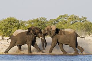 Kaempfende afrikanische Elefanten Bullen, an einem Wasserloch (Loxodonta africana), Etosha-Nationalpark, Namibia, Afrika, fighting African Elephants at waterhole in Etosha NP, Africa