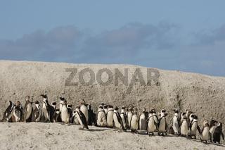 African Penguin - Brillenpenguin - Table Mountain National Park - Boulders - South Africa