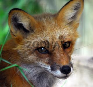 Closeup portrait of a Red Fox