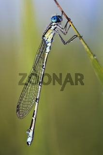 Gemeine Becherjungfer (Enallagma cyathigerum) - common blue damselfly (Enallagma cyathigerum)