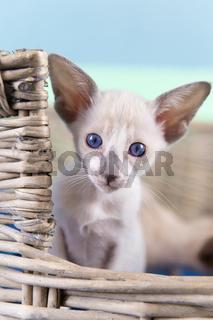 Little Siamese kitten