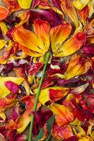 Als Blume arrangierte Blütenblätter von Tulpen