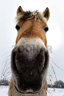 Pferdekopf