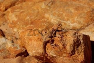 Echse im Australischen Outback / Australian Lizard