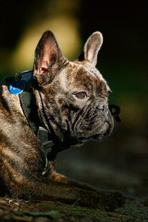 Bulldogge im Sonnefleck