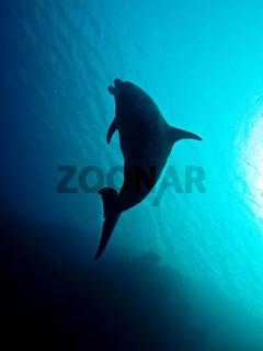 Delfin im Roten Meer