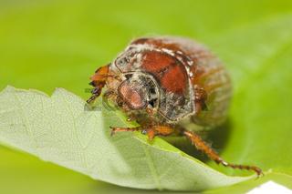 Maikaefer (Melolontha melolontha)