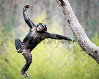 Chimp in Flight