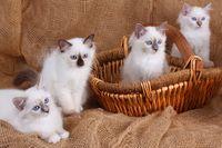 HEILIGE BIRMA KATZE, BIRMAKATZE, SACRED CAT OF BIRMA, BIRMAN CAT, KITTEN, LITTER, KORB,