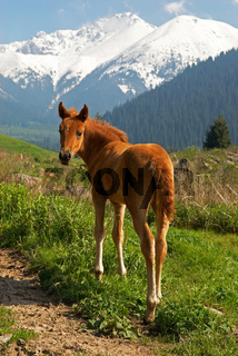 Free yong brown foal in mountains