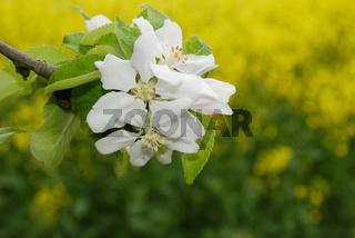 Apfelbaumblueten