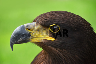 Close up profile portrait of Golden eagle on green
