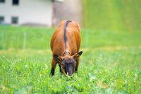 Ziege, Goat