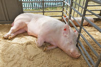 Boar and a piggy  resting in the pen